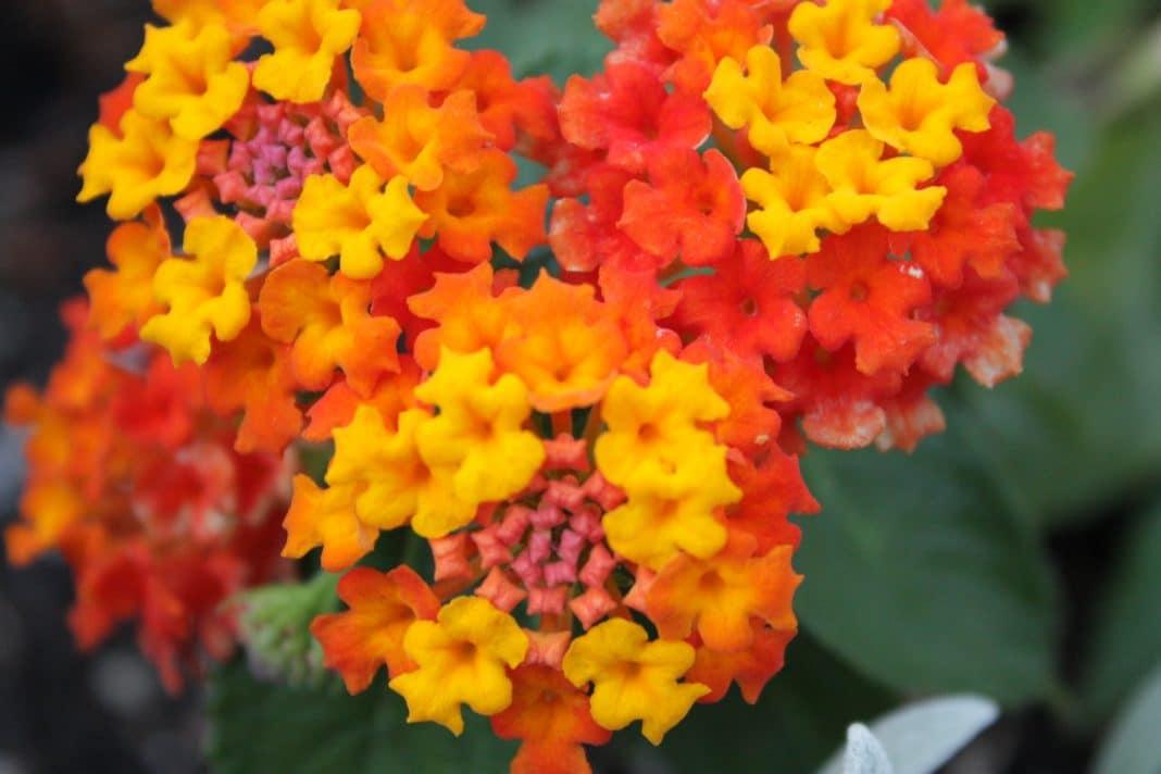 lantana-flowers