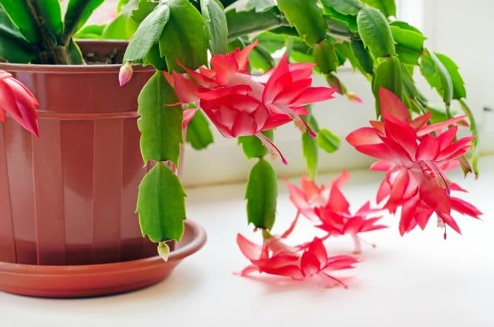 Flowering-Houseplants