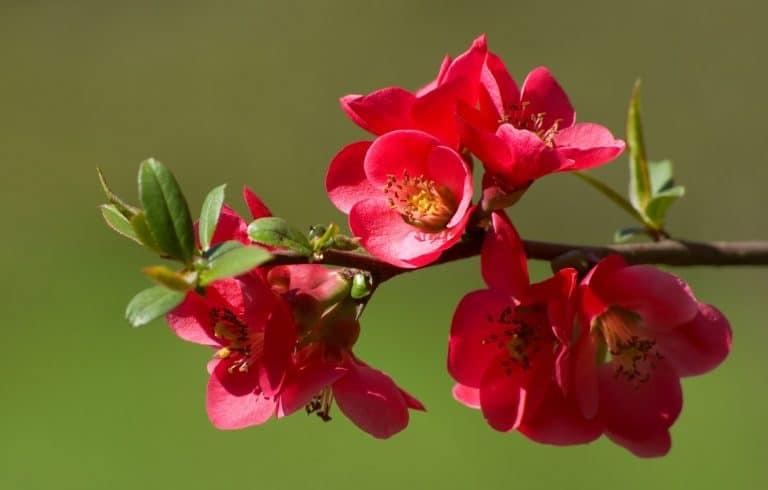 Flowering Quince (Chaenomeles) Plant Profile