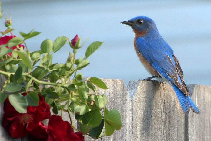 Attracting-Birds-to-Your-Backyard