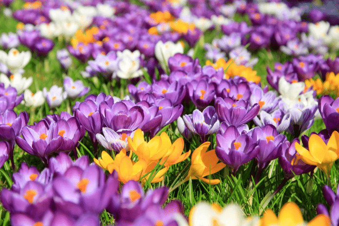 Bulbs-for-Spring-Blooming