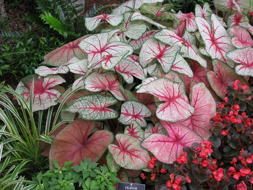 Caladium-Alternatives-Coleus
