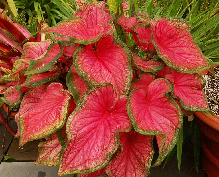 Caladiums: Care and Growing Guide