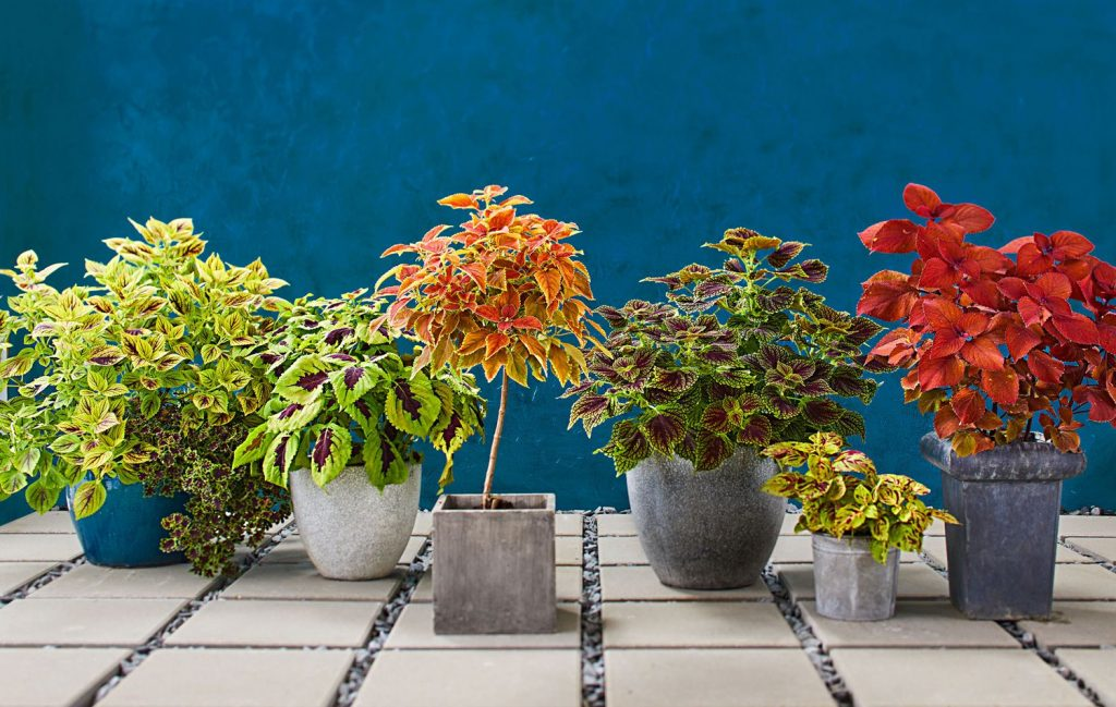 Coleus-Planting-and-Propagation