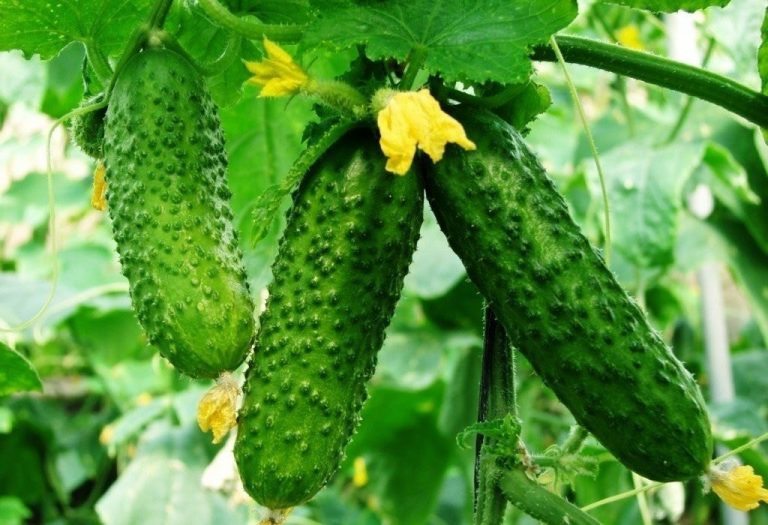 Grow a Pickle Garden for Easy Pickle Making
