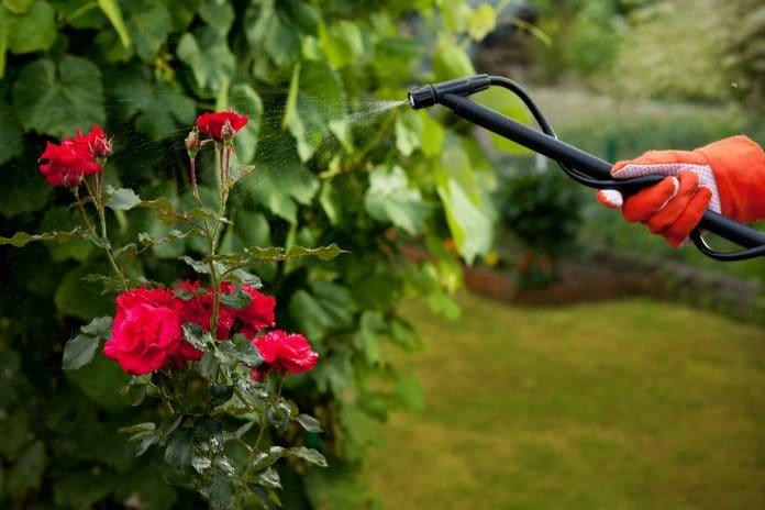 Rose-Pests-Guide