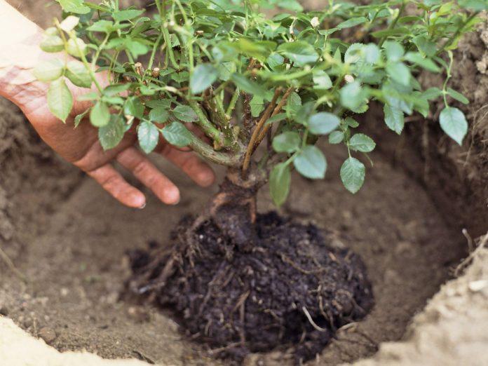 Transplanting-Roses