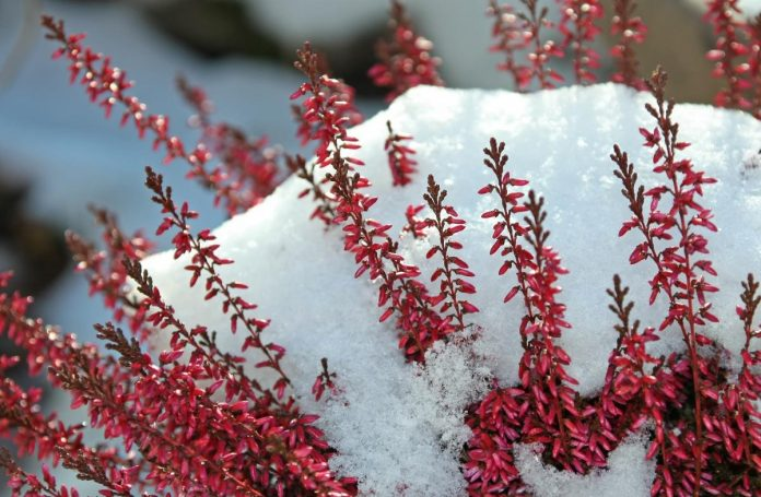 Winter-Ornamental-Landscape-Plants