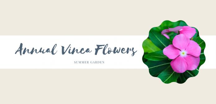 Annual-Vinca-Flowers