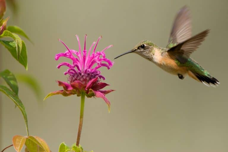Bee Balm: A Beautiful Perennial Plant for Hummingbirds