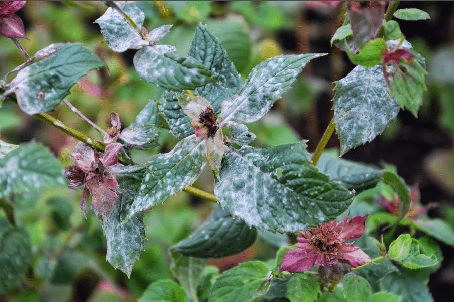 Diseases-on-Bee-Balm