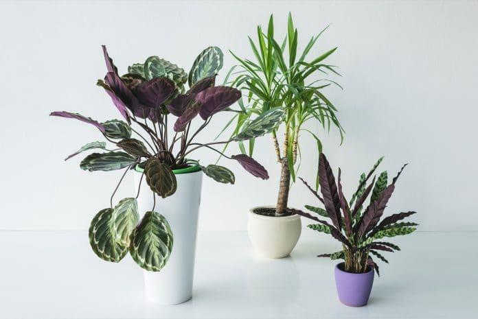 Calathea-Plant