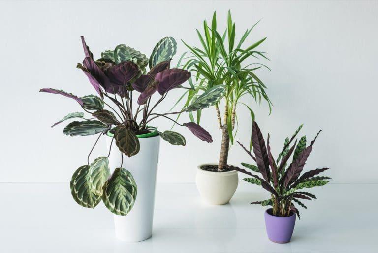Calathea Plant: Care, Propagation Strategies, Varieties