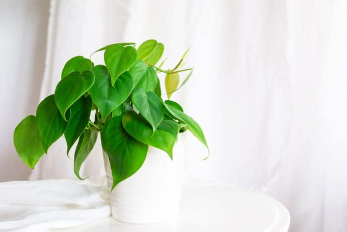 Philodendron-Care