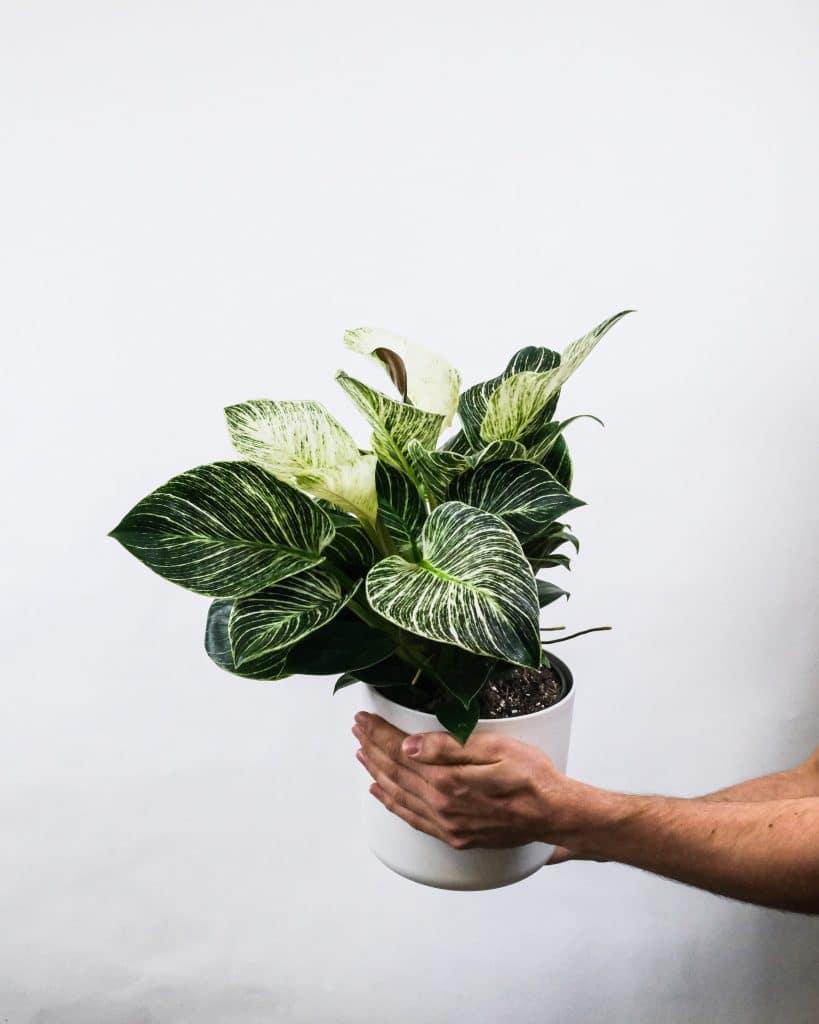 Philodendron-birkin