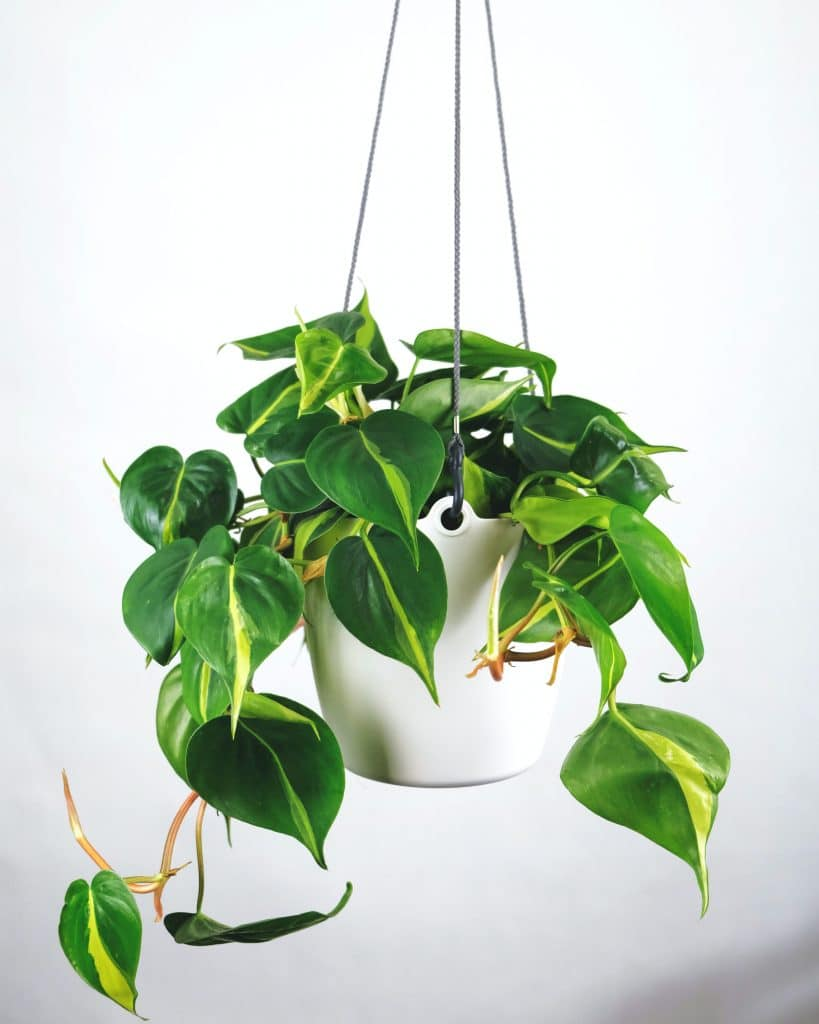Philodendron-hanging-decors