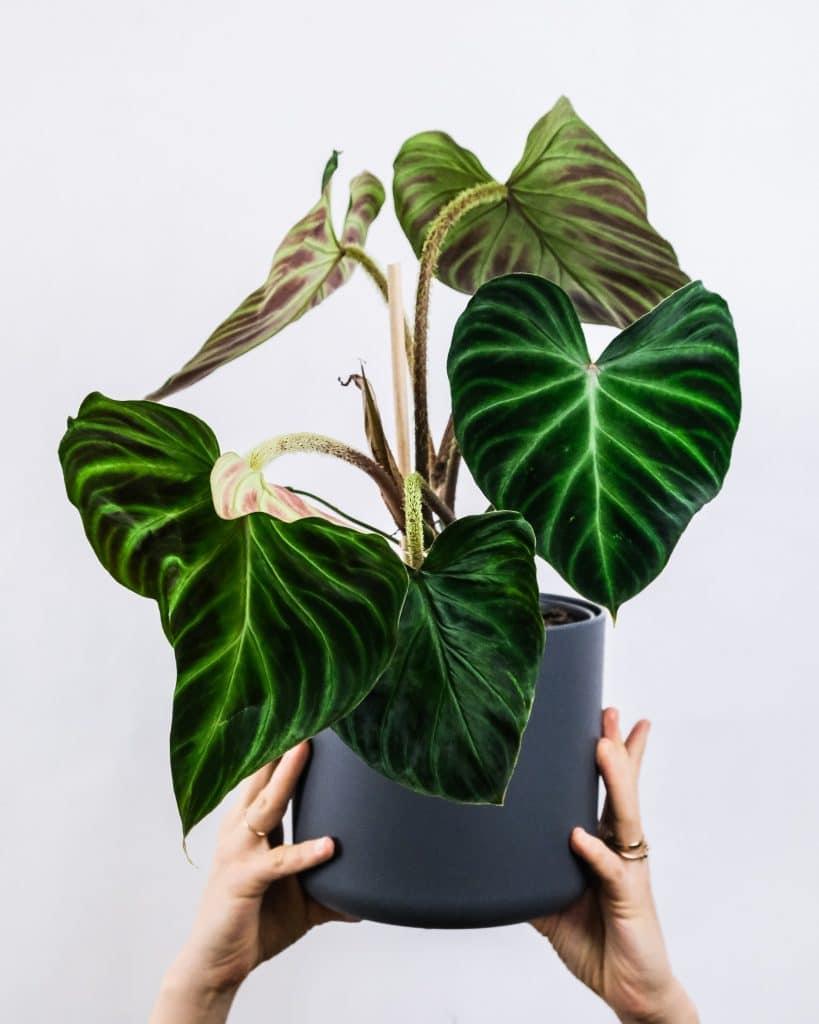 Philodendron-verrucosum