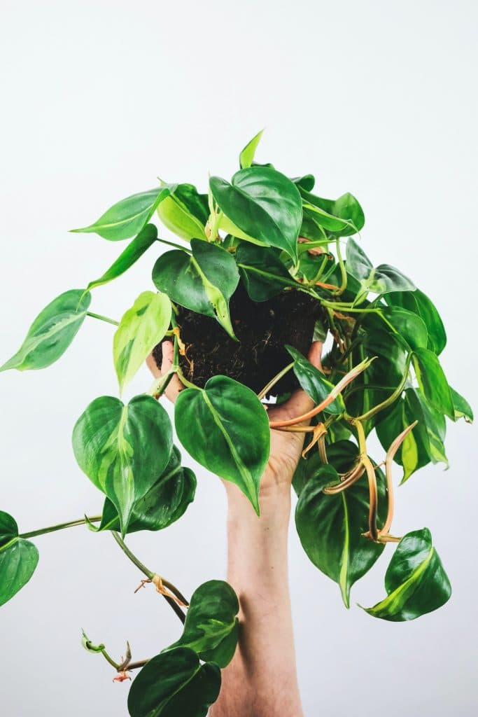 philodendron-propagation
