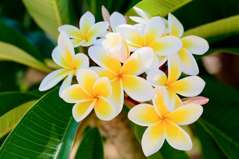 Plumeria Care: Propagation & Ideal Growing Conditions